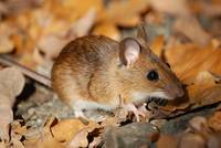 Wood Mouse in autumn leaves