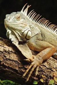 Green Iguana living in America