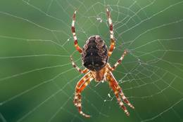 European Garden Spider at a late summer morning with back light.