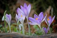 Crocuses and snowdrops - spring pure