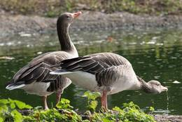 Greylag Geese drinking