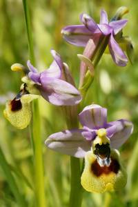 Ophrys tenthredinifera in spring