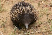 Short-beaked Echidna - in spite of all alikeness more ethnic as a hedgehog.