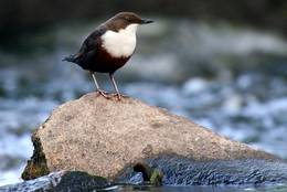 Quickly flowing water and stones – the adopted country of the dipper