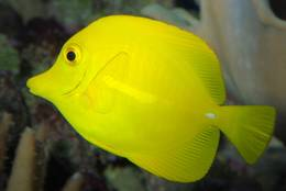 A Yellow Tang is  especially attractive because of its completely uniform colours.