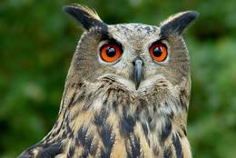 Portrait of the Eurasian Eagle-owl – the brightly orange eyes are remarkable.