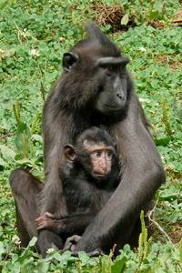 Relations with Celebes Crested Macaques: mother with child