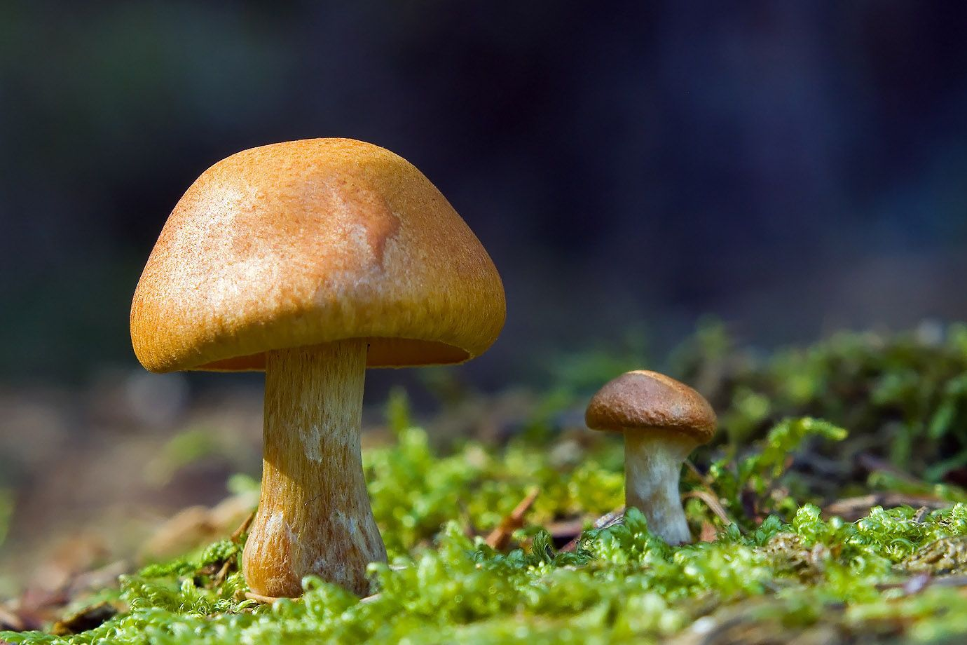 2 mushrooms in the moss