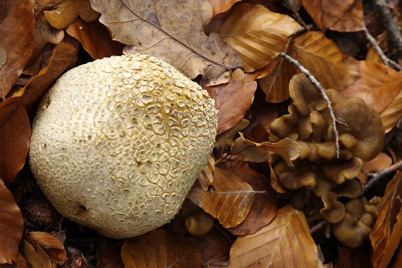 A Puffball besides other mushrooms in the autumn foliage.