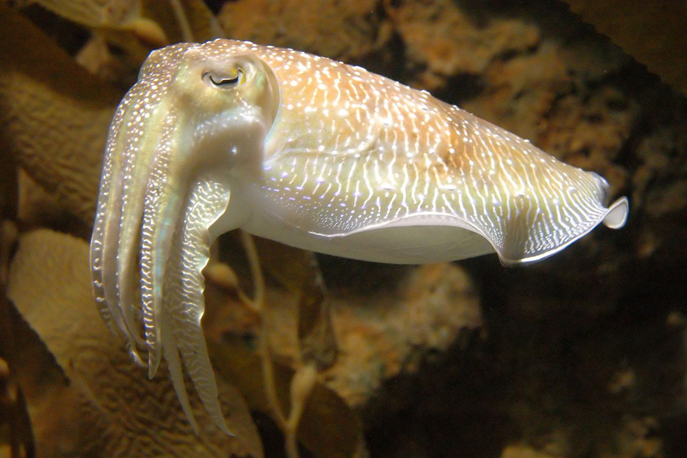 This Cuttlefish seems to doze