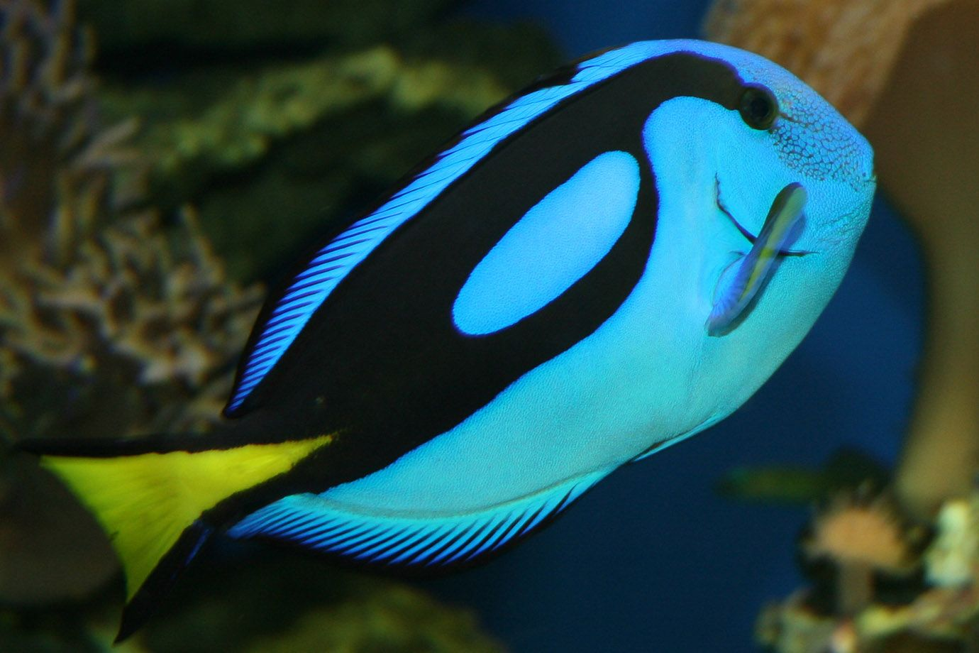 Palette Surgeonfish in bright colours