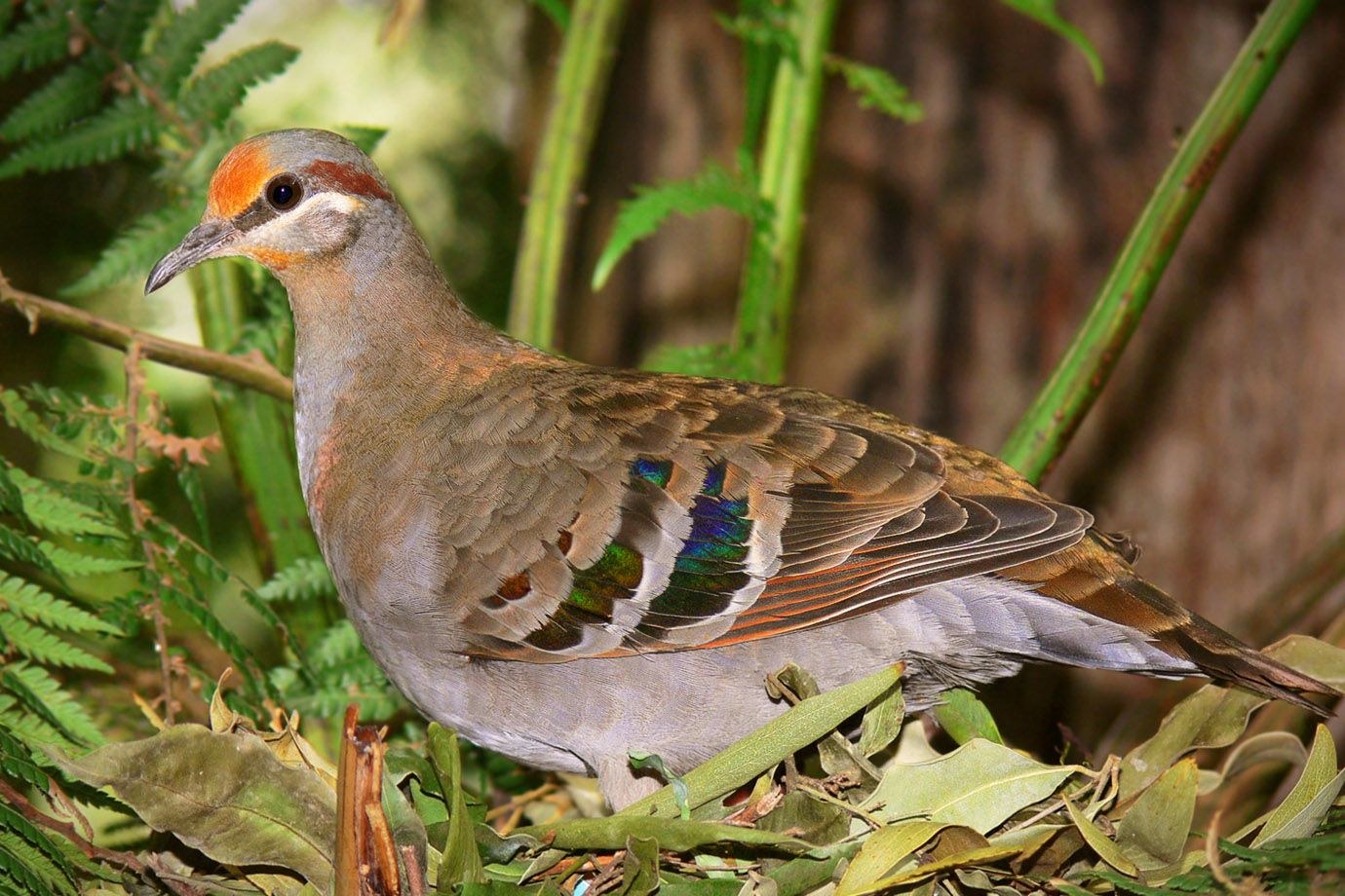 Brush Bronzewing in spring in its Australian homeland