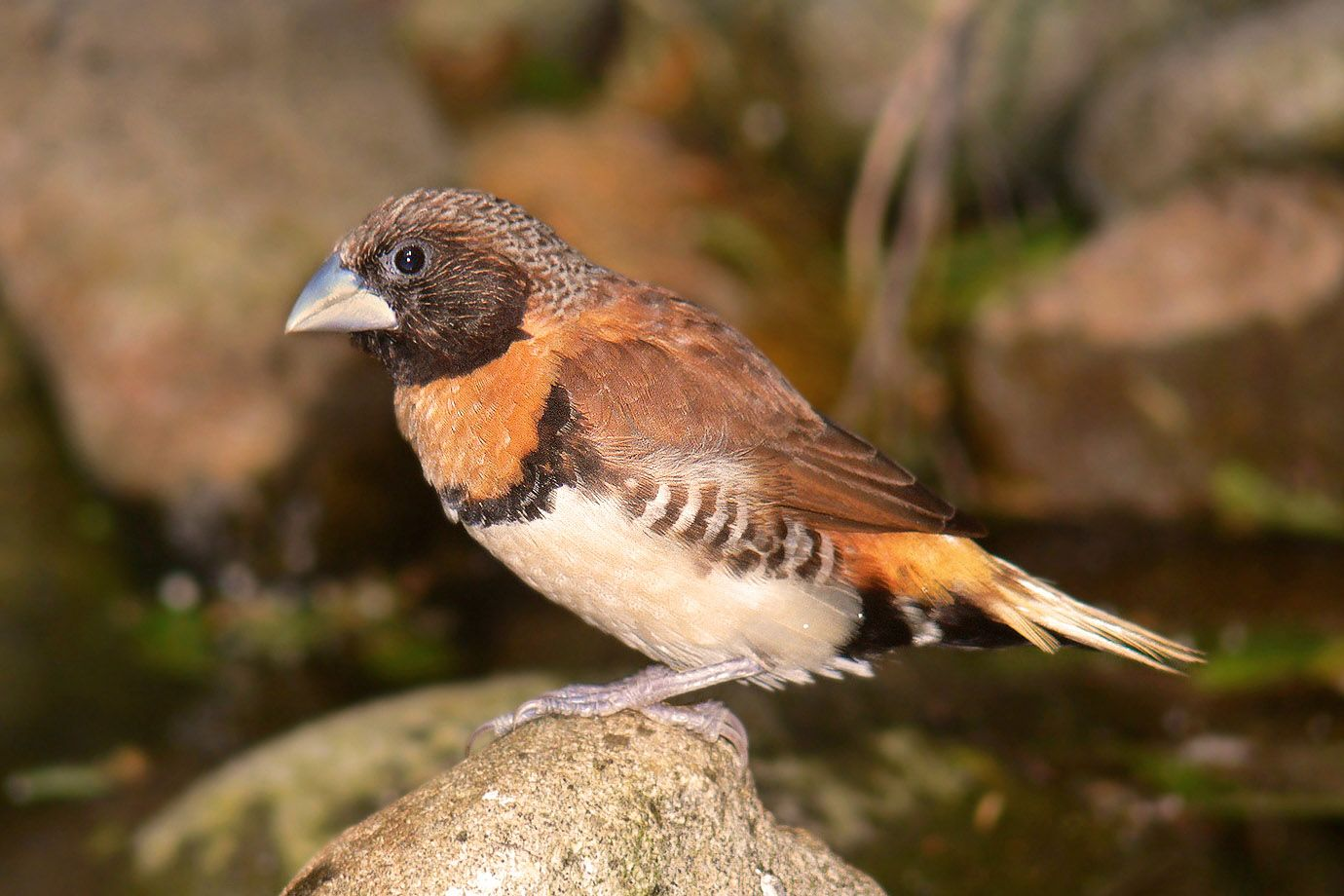 Chestnut-breasted Munia