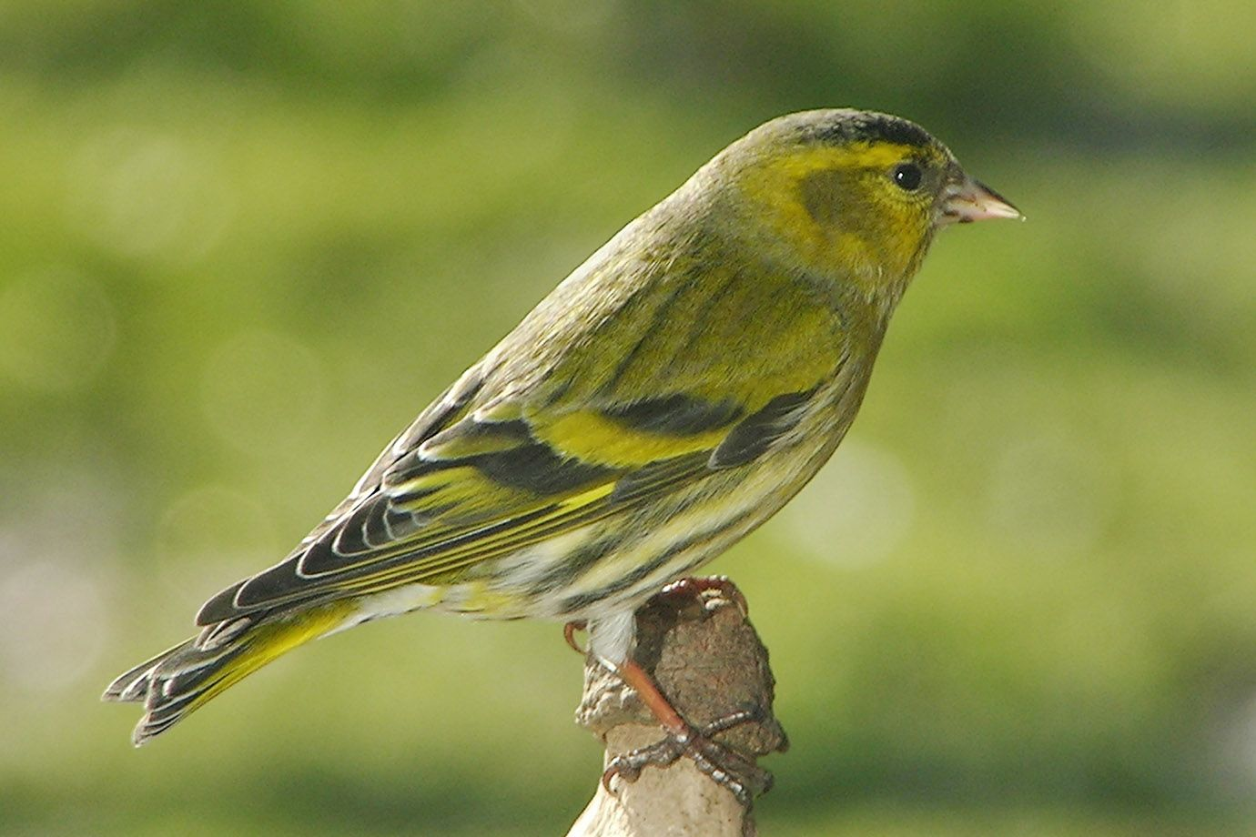 Eurasian Siskin in February