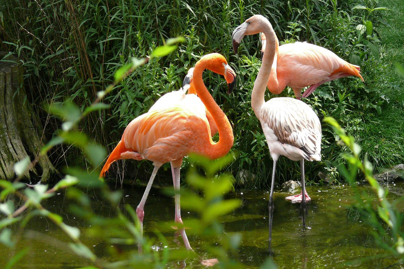 With the Flamingos the intensity of the colour depends from the species and the food