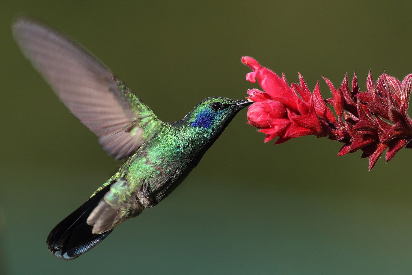 Green Violetear collecting nectar