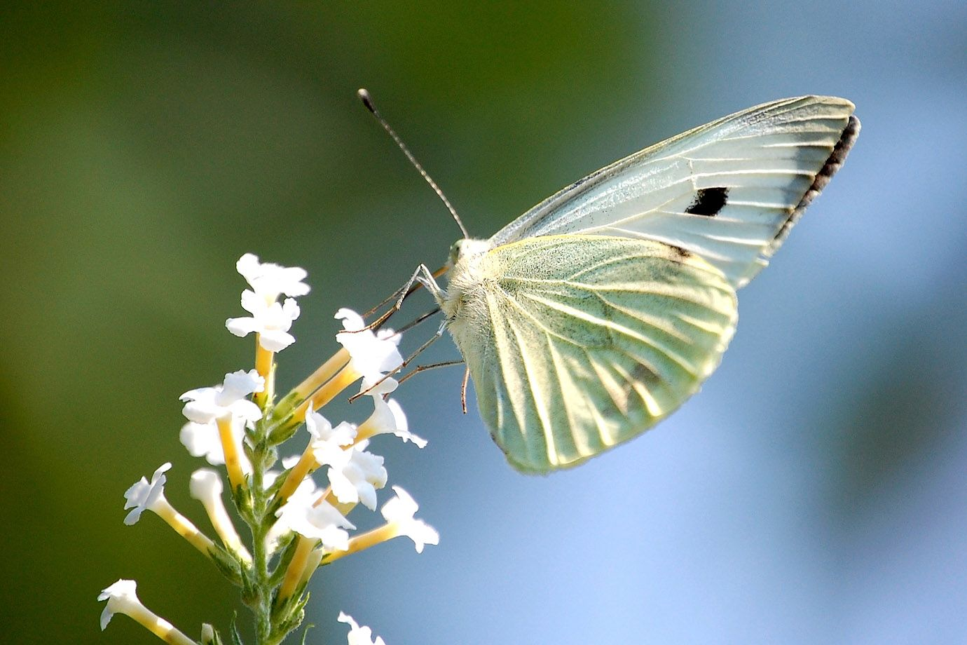 Large White on a blossom