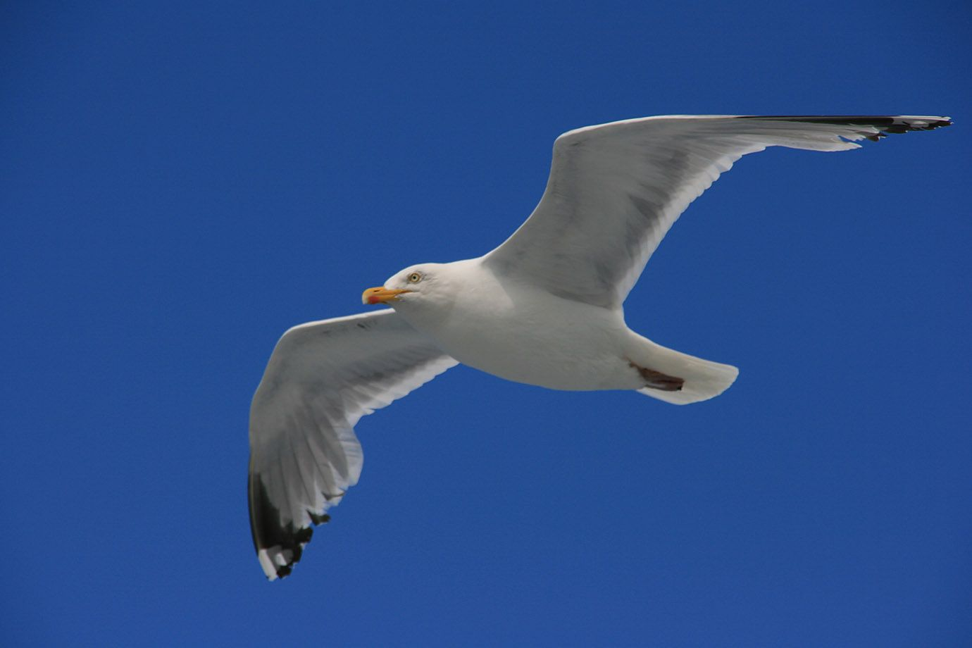 Sea-Gull in gliding flight - as a symbol for life in the air