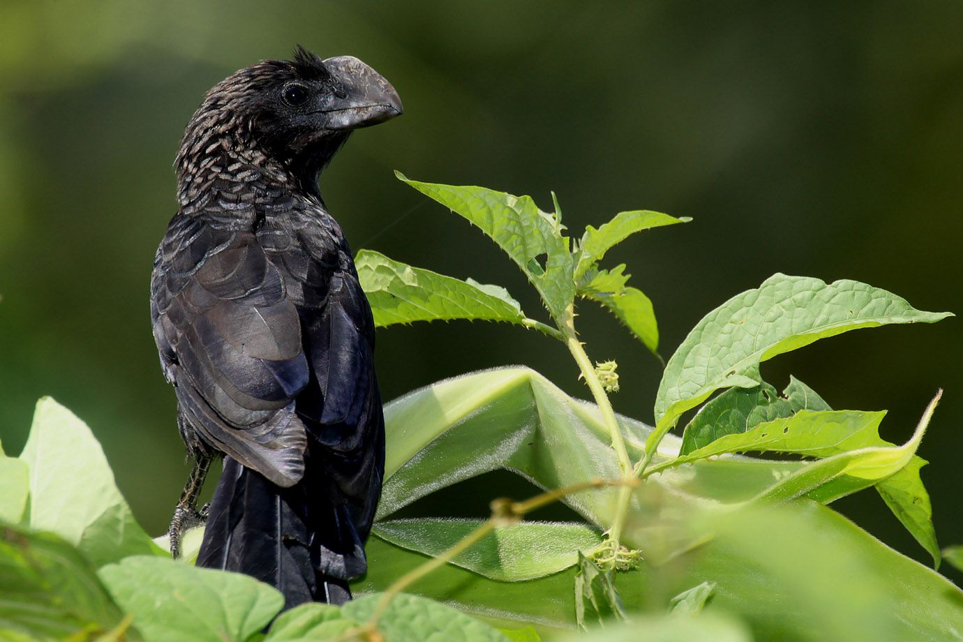 Smooth-billed Ani in the sunshine
