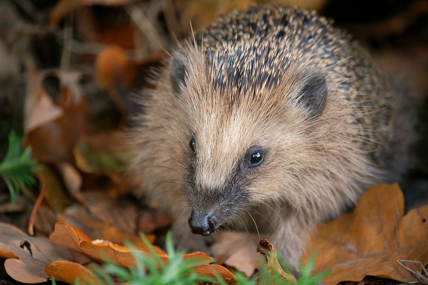 Hedgehog in the autumn foliage