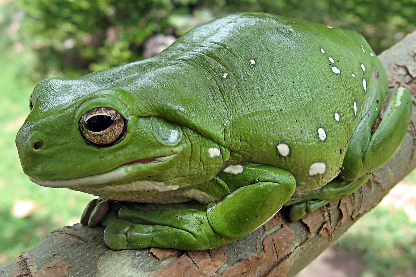 Australian Green Tree Frog at rest