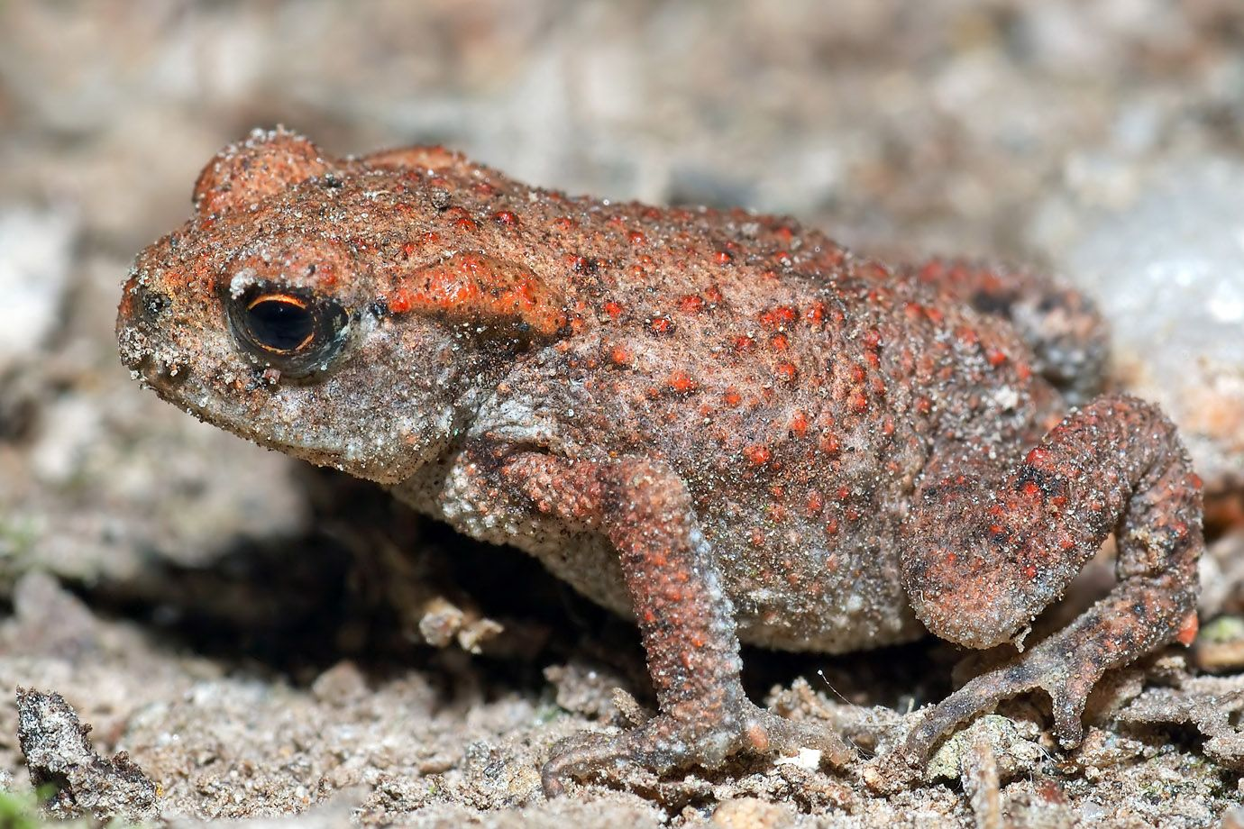 Young Common Toad (Bufo bufo)
