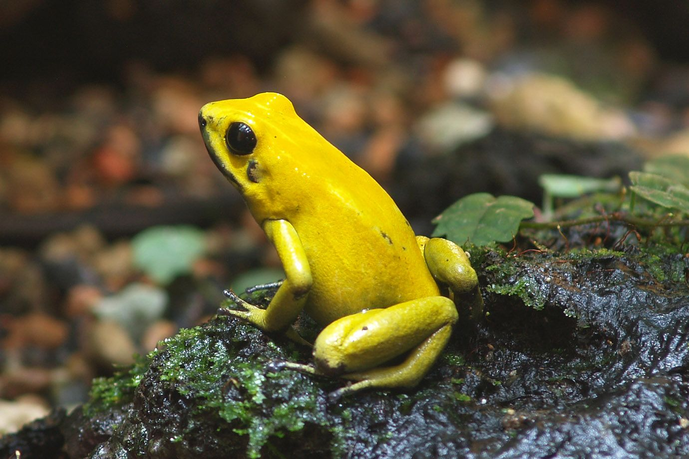 Poison Dart Frog, also named Dendrobate