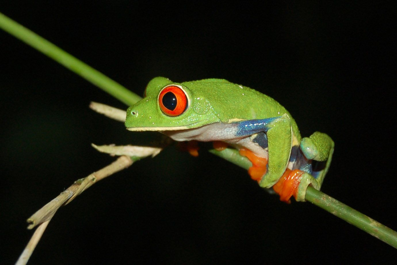 The Red-eyed Treefrog is perfectly adapted for climbing in trees.