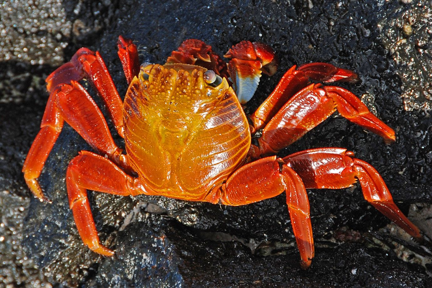 Red Rock Crab on Galapagos Islands
