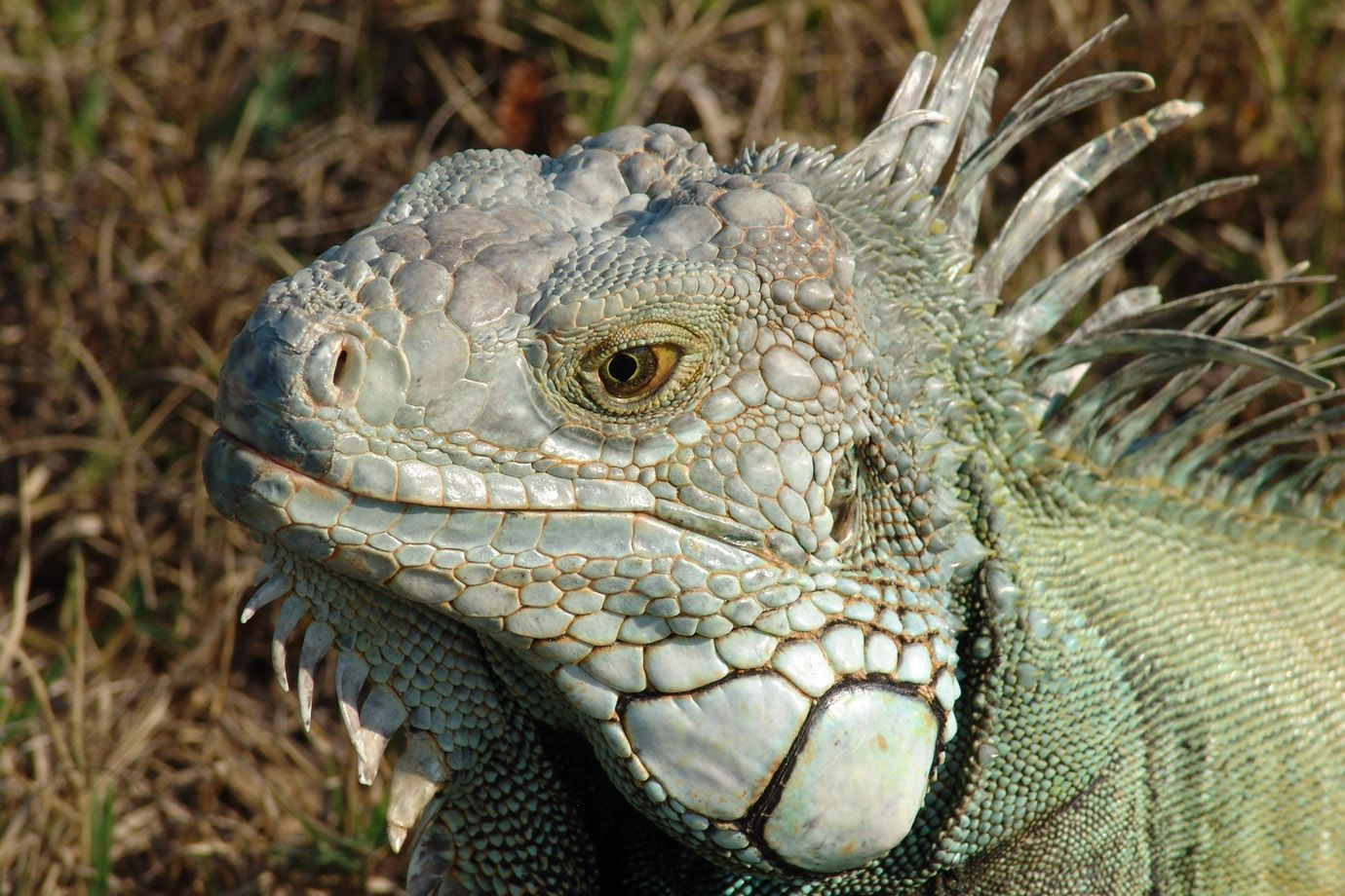 An Iguana as an interesting exponent of the reptiles