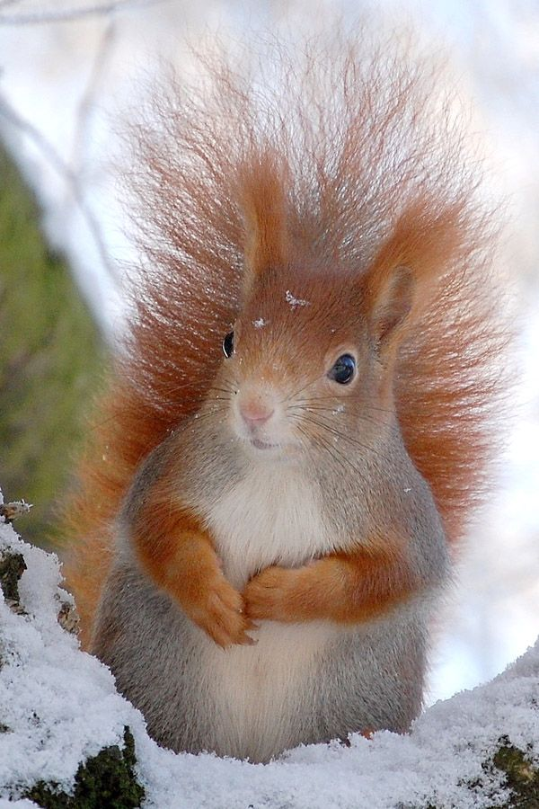 Winter Rest - Red Squirrel